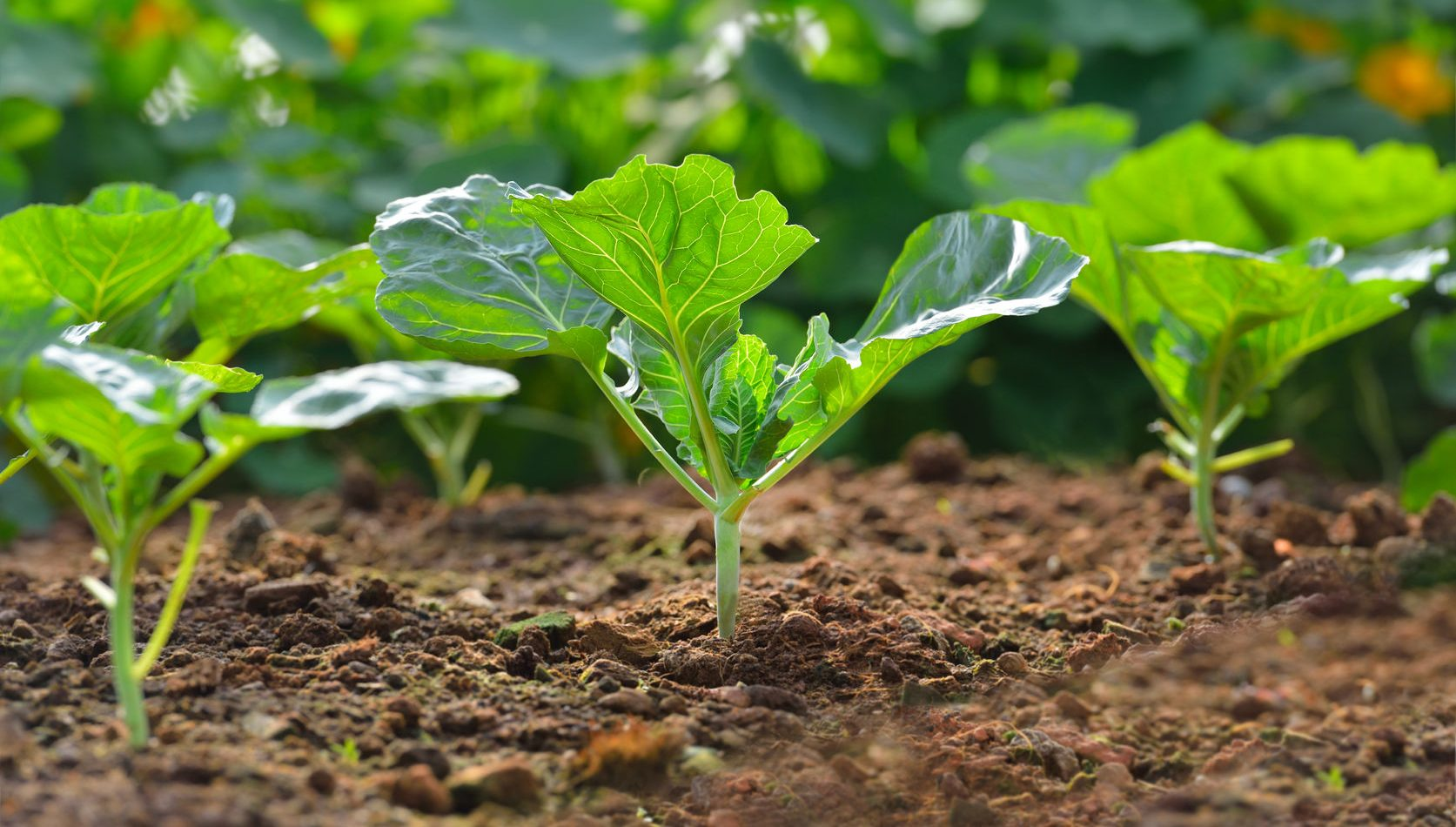 47350130 - chinese kale vegetable growing out of the earth on in garden