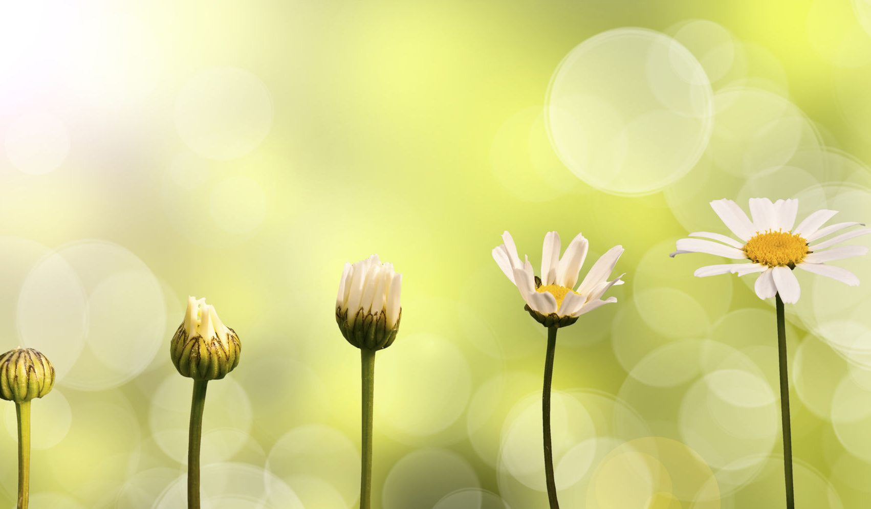 36224447 - daisies on green nature background, stages of growth