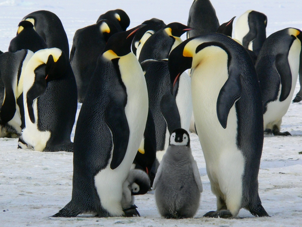 Parents and baby penguin